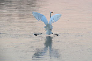 Great egret (Ardea alba) failing to balance on ice, Champagne, France, December - Fabrice  Cahez