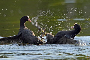 Eurasian coots (Fulica atra) fighting, Vosges, France - Fabrice  Cahez