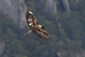 Bearded vulture (Gypaetus barbatus) Gorges de la Jonte, Cevennes, France, March. - Fabrice  Cahez