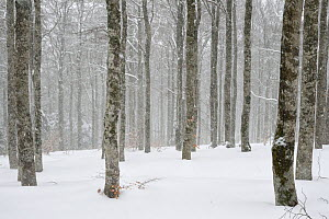 Beech forest (Fagus sylvatica) in winter, Mont Aigoual, Cevennes National Park, France, March. - Fabrice  Cahez