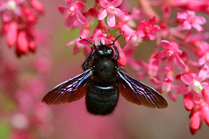 Violet carpenter bee (Xylocopa violacea) Vosges, France, April. - Fabrice  Cahez