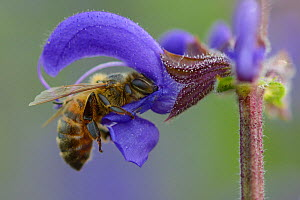 Honeybee (Apis melifera) foraging on Sage flower (Salvia pratensis) Vosges, France, May.  -  Fabrice  Cahez