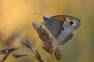 Meadow brown butterfly (Maniola jurtina) at dawn, Vosges, France, July. - Fabrice  Cahez