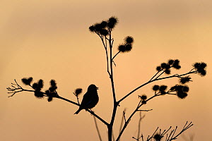 Common linnet (Linaria cannabina) silhouetted, Vosges, France - Fabrice  Cahez
