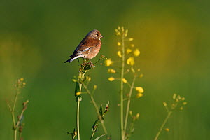 Common linnet (Linaria cannabina) perched, Vosges, France - Fabrice  Cahez