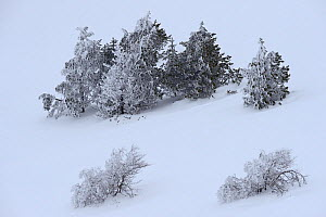 Trees in snow on  Mont-Aigoual,  Cevennes National Park,France, March 2016. - Fabrice  Cahez