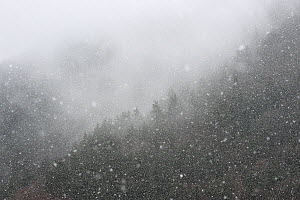 Snow falling over forest, Cevennes National Park, France, March 2016. - Fabrice  Cahez