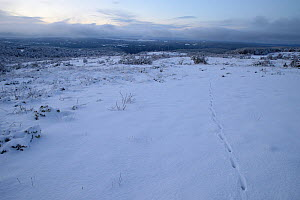 Landscapes with Red fox (Vulpes vulpes) tracks in snow, Cevennes National Park, France, May. - Fabrice  Cahez