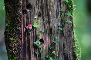 Middle spotted woodpecker (Dendrocopos medius) at nest hole, Vosges, France  -  Fabrice  Cahez
