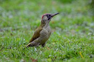 European green woodpecker (Picus viridis) juvenile, Vosges, France, October. - Fabrice  Cahez