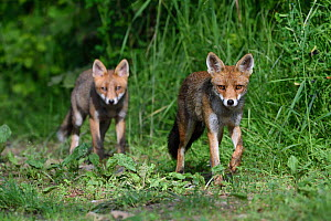 Red fox (Vulpes vulpes) vixen and cub, Vosges, France, June.  -  Fabrice  Cahez