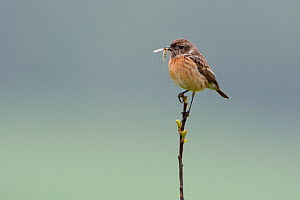 European stonechat (Saxicola torquatus) perched on twig, Vosges, France - Fabrice  Cahez