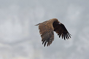 Cinereous vulture (Aegypius monachus) in flight, Cevennes, France, March. - Fabrice  Cahez