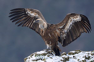 Eurasian griffon vulture (Gyps fulvus) stretching its wings, Cevennes, France, March. - Fabrice  Cahez