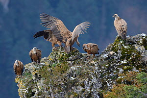 Eurasian griffon vulture (Gyps fulvus) group on rock, Cevennes, France, - Fabrice  Cahez