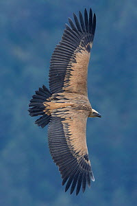 Eurasian griffon vulture (Gyps fulvus) in flight, Cevennes, France, March 2016. - Fabrice  Cahez