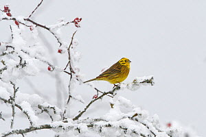 Yellowhammer (Emberiza citrinella) Vosges, France, January. - Fabrice  Cahez