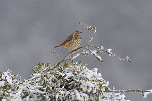 Mistle thrush (Turdus viscivorus) on frosty branch, Vosges, France - Fabrice  Cahez