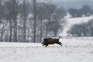 Wild boar (Sus scrofa) running across snow covered field, Vosges, France, January.  -  Fabrice  Cahez