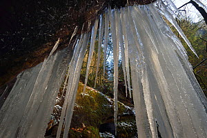 Large icicles in small forest stream in , Vosges mountain, France, January.  -  Fabrice  Cahez