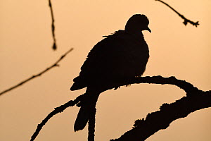 Eurasian collared dove (Streptopelia decaocto)  silhouetted, Vosges, France, February.  -  Fabrice  Cahez