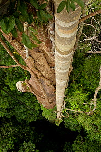 Roots of the strangler fig (Ficus dubia) attached to Dipterocarp tree (Shorea sp.)  -  Tim  Laman