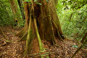 Buttress roots of a rainforest tree, Gunung Palung National Park, Borneo.  -  Tim  Laman