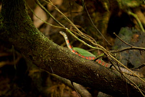 Red-sided keelback water snake (Xenochrophis trianguligerus) Gunung Palung National Park, Borneo.  -  Tim  Laman