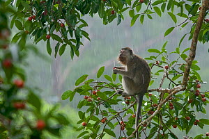 Long-tailed macaque (Macaca fascicularis) feeding in a fruiting Strangler fig tree (Ficus dubia) in heavy rain. Gunung Palung National Park, Borneo.  -  Tim  Laman