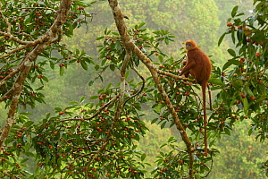 Red Leaf Monkey (Presbytis rubicunda) in Strangler fig tree (Ficus dubia) eating a fig.  Gunung Palung National Park, Borneo.  -  Tim  Laman