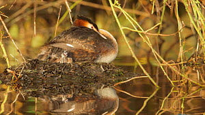 Showreel of Great crested grebe material by Andy Rouse - Andy Rouse