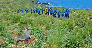 Antarctic fur seal (Arctocephalus gazella) with tourists in the background looking at another seal, Bay of Isles, Prion Island, South Georgia. January.  -  Rick Price