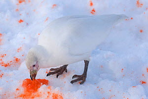 Pale-faced Sheathbill (Chionis alba) in snow, feeding on broken penguin egg dropped by a skua, Mikkelson Harbour, Trinity Island, Antarctica. December.  -  Rick Price