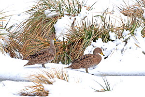 Two South Georgia pintail ducks (Anas georgica georgica) in snow, endemic species, King Haakon Bay, Peggoty Bluff, South Georgia, Antarctica. November.  -  Rick Price