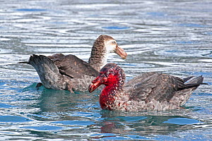 Two Northern giant petrels (Macronectes halli) on the water, one with a bloodied face from feeding on an elephant seal carcass, Gold Harbour, South Georgia, Antarctica. October.  -  Rick Price