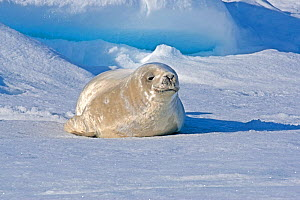 Crabeater seal (Lobodon carcinophaga) pup on ice near Rosamel Island, Antarctic Peninsula, Antarctic Sound, Antarctica. January.  -  Rick Price