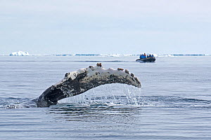 Humpback whale (Megaptera novaeangliae) waving pectoral fin at water surface with people in a boat in the distance, Antarctic Peninsula, Antarctic Sound, Antarctica. January. - Rick Price