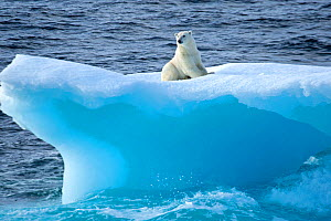 Polar bear (Ursus maritimus) on an iceberg, Baffin Bay, Canada. September.  -  Rick Price