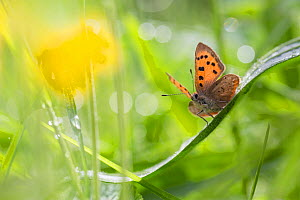 Small copper butterfly (Lycaena phlaeas) in meadow. Peak District National Park, Derbyshire, UK. May. - Alex  Hyde