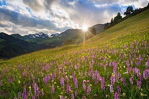 Meadow of Fragrant Orchids (Gymnadenia conopsea) at sunset. Tirol, Austrian Alps, Austria, June.  -  Alex  Hyde