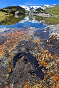 Male Alpine Newt (Ichthyosaura / Triturus alpestris) in mountain pool. Nordtirol, Austrian Alps. June.  -  Alex  Hyde