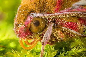 Elephant Hawkmoth (Deilephila elpenor) close up of head showing proboscis. Note the pollen grains attached to its hairs. Peak District National Park, Derbyshire, UK. August. Focus Stacked.  -  Alex  Hyde