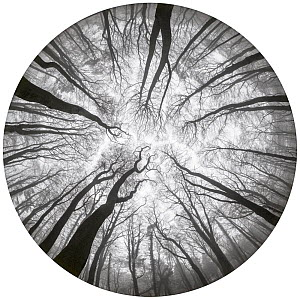 Beech trees (Fagus sylvatica) woodland canopy in winter, photographed with a circular fisheye lens. Derbyshire, UK. December. - Alex  Hyde