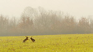 Brown hare (Lepus europaeus) boxing, Bedfordshire, England, UK, March.  -  Brian Bevan