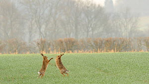 Two male Brown hares (Lepus europaeus) boxing, chasing a female, Bedfordshire, England, UK, March.  -  Brian Bevan