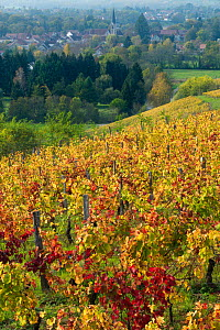 Vineyards near Chateau-Chalon, Jura, Franche-Comte, France, October.  -  David Noton