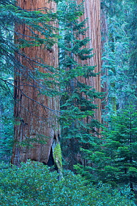 Giant sequoia (Sequoiadendron giganteum) trees in Sequoia National Park, California, USA  -  David Noton