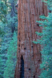 General Sherman Tree, the largest tree in the world, Giant sequoia (Sequoiadendron giganteum) Sequoia National Park, California, USA  -  David Noton