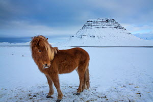 Iceland horses grazing in the snow in front of Kirkjufell, Snaefellsnes Peninsula, Iceland. February 2016. - David Noton