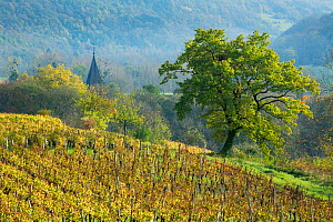 Vineyards near Château-Chalon, Jura, Franche-Comte, France, October 2014.  -  David Noton